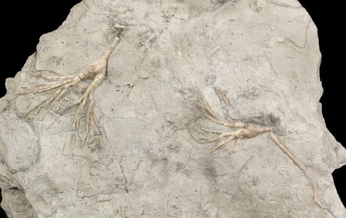 Pair of Cupulocrinus Crinoids - Bobcaygeon Formation