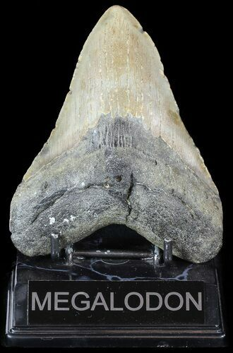 "4.93"" Megalodon Tooth - North Carolina"