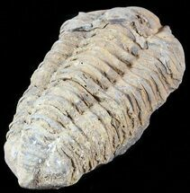 "3.2"" Calymene Trilobite From Morocco - Large Size For Sale, #49640"