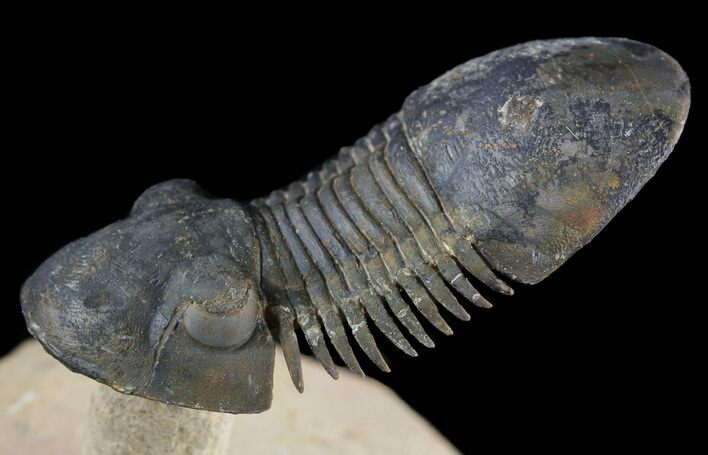 """Flying"" Paralejurus Trilobite Fossil - Natural Work Of Art"