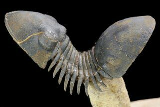 """Flying"" Paralejurus Trilobite Fossil - Natural Work Of Art For Sale, #49580"