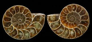 "Small Desmoceras Ammonite Pair - 1.5"" For Sale, #49835"
