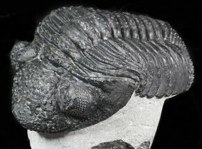 "Buy 4.6"" Drotops Trilobite On Pedestal of Limestone  - #45607"