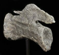 "11.8"" Long Diplodocus Vertebrae On Stand - Wyoming For Sale, #50789"