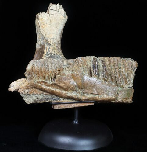 "9.4"" Hadrosaur Jaw Section With Three Teeth - Judith River Formation"