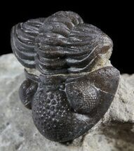 Rare, Eifel Geesops Trilobite - Germany For Sale, #50606
