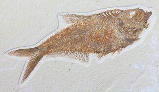 "Nice, 7.2"" Diplomystus Fossil Fish - Wyoming For Sale, #50861"
