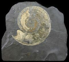 Harpoceras - Fossils For Sale - #50961