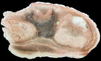 "Buy 8.2"" Permian Petrified Tree Fern (Tietea) Slab - Brazil - #51109"