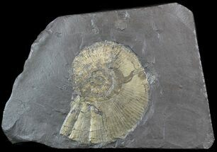 "7.5"" Pyritized Ammonite (Harpoceras) Fossil - Germany For Sale, #51152"