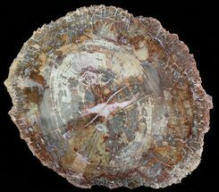 "12.2"" Colorful Petrified Wood Slab - Madagascar For Sale, #51257"