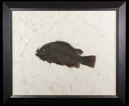"Huge, 12.2"" Priscacara Serrata Fossil Fish - Framed For Sale, #51335"