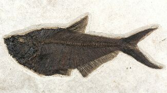 "Buy Huge, 16.4"" Diplomystus Fish Fossil - Great Wall Mount - #51337"