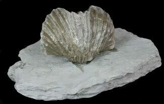 Platystrophia Brachiopod Fossils From Kentucky (Multiple Available) For Sale, #51593