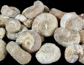 Perisphinctes - Fossils For Sale - #51672