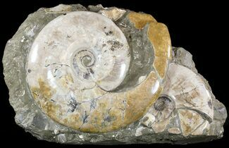 "21"" Wide Polished Ammonite Cluster - Cyber Monday Deal! For Sale, #51539"