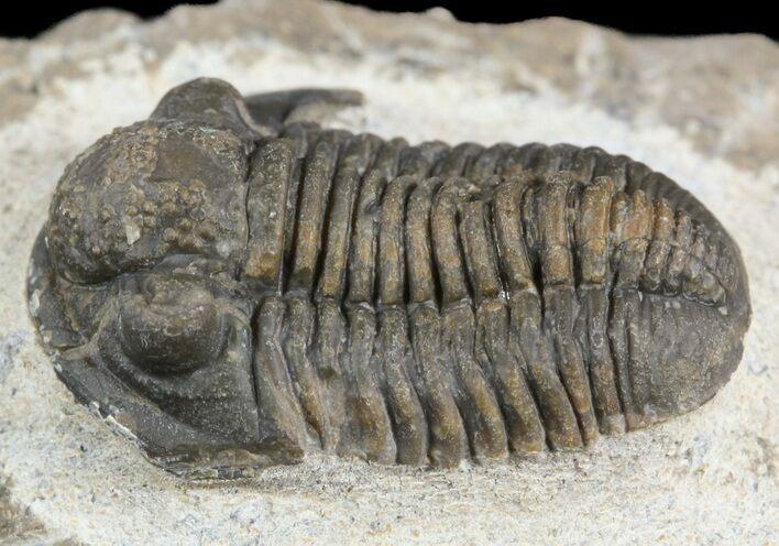 """.95"""" Gerastos Trilobite Fossil - Morocco"""