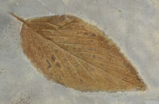 "1.6"" Fossil Hackberry Leaf - Montana For Sale, #52235"