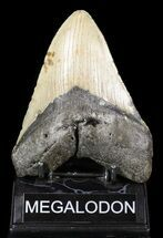 "Bargain, 5.17"" Megalodon Tooth - North Carolina For Sale, #52286"
