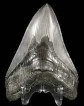 Carcharocles megalodon - Fossils For Sale - #52407