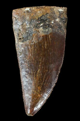 "1.55"" Carcharodontosaurus Tooth - Serrated"