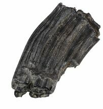 "2.6"" Pleistocene Aged Fossil Horse Tooth - Florida For Sale, #53162"