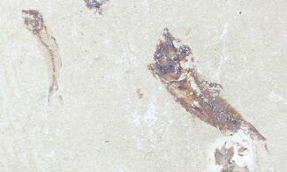 Unidentified - Fossils For Sale - #53943