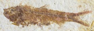 "Buy Detailed, 2.1"" Knightia Fossil Fish - Wyoming - #53884"