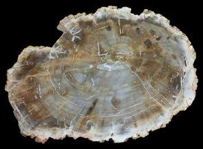 "4.6"" Petrified Wood (Araucaria) Slab - Madagascar For Sale, #53999"