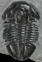 "Nice, 1.88"" Asaphiscus Wheeleri Trilobite - Utah For Sale, #53762"