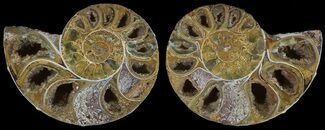 "3"" Cut & Polished, Agatized Ammonite Fossil - Jurassic For Sale, #53816"