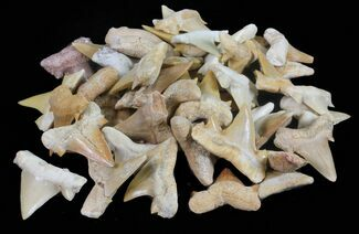 Bulk: Fossil Otodus Shark Teeth - 10 Pack For Sale, #54800