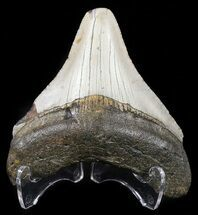 Carcharocles megalodon - Fossils For Sale - #54753
