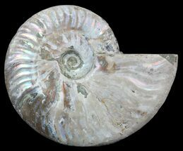 "4.4"" Silver Iridescent Ammonite - Madagascar For Sale, #54869"