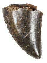 "Buy Serrated, 1.08"" Tyrannosaur Tooth Tip - Montana - #52693"