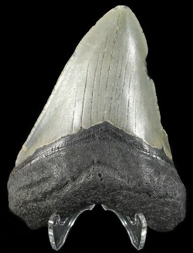 "Bargain, 3.60"" Megalodon Tooth - North Carolina"