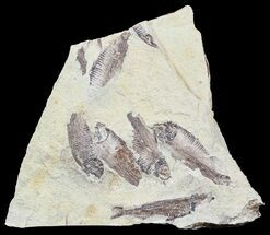"Buy 8.3"" Fossil Fish (Gosiutichthys) Multiple Plate - Lake Gosiute - #54970"