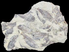 "9.2"" Fossil Fish (Gosiutichthys) Mortality Plate - Lake Gosiute For Sale, #54977"