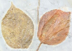 Buy Two Paleocene Fossil Leaves (Beringiaphyllum & Davidia) - Montana - #55141