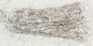 "Buy .75"" Abrotocrinus Crinoid - Crawfordsville, Indiana (Reduced Price) - #55180"