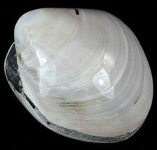"1.3"" Polished Fossil Astarte Clam - Cretaceous For Sale, #55274"