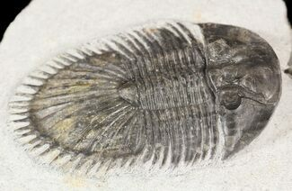 Thysanopeltis sp. - Fossils For Sale - #54372