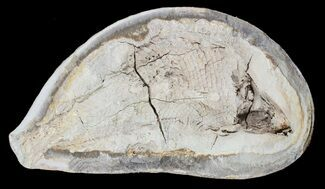 "5"" Triassic Fossil Fish In Nodule - Madagascar For Sale, #53759"