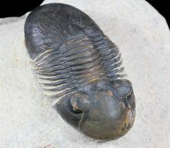 "Buy 1.8"" Paralejurus Trilobite Fossil - Foum Zguid, Morocco - #53539"