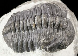 "Bargain, .95"" Barrandeops Trilobite Fossil For Sale, #52955"