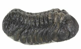 "Bargain, 2"" Austerops Trilobite Fossil - Rock Removed For Sale, #55868"