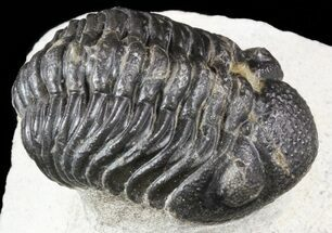 "Bargain, 2"" Barrandeops Trilobite - Morocco For Sale, #55997"