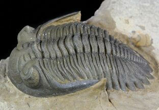 Hollardops & Barrandeops Trilobite Association - Top Quality For Sale, #56252