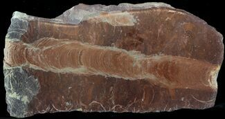 "Buy 7.5"" Polished Stromatolite (Jurusania) From Russia - 950 Million Years - #57562"