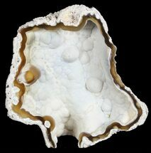 "3.7"" Unique, Agatized Fossil Coral Geode - Florida For Sale, #57708"